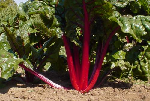 Beta vulgaris Green Vegetable 60 Day Harvest SWISS CHARD RED RUBY SEEDS Details about  /20